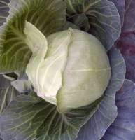 Early_cabbage