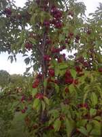 Native_plum_tree_1