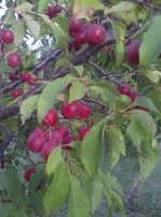 Native_plum_tree_2
